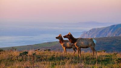Tule Elk, Point Reyes National Seashore