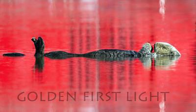 Southern Sea Otter, Moss Landing CA