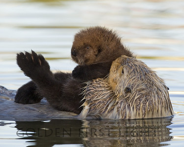 Southern Sea Otter with Pup, Moss Landing California
