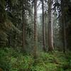 Cedars/ Quinalt Rain Forest