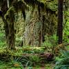Quinalt Rainforest