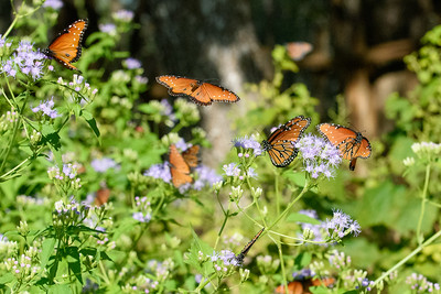 Brush Footed and Monarchs - Pedernales Falls State Park