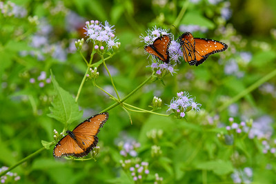 Brush Footed Butterflies