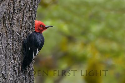 Magellanic Woodpecker, Tierra del Fuego National Park, Argentina