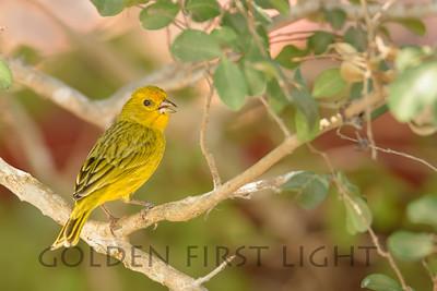 Saffron Finch, Pantanal Brazil