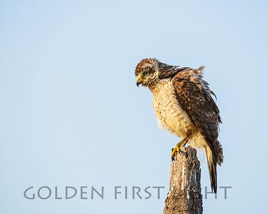 Roadside Hawk, Pantanal Brazil