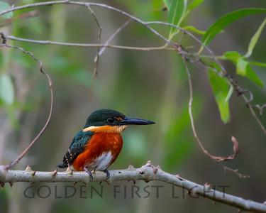American Pygmy Kingfisher, Brazil