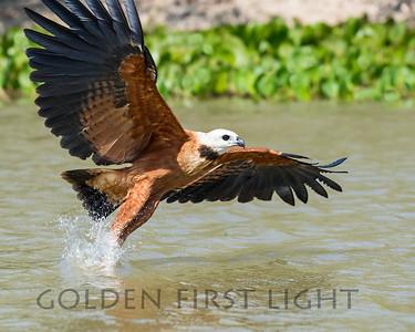 Black-collared Hawk, Pantanal Brazil