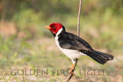 Yellow-billed Cardinal, Pantanal Brazil