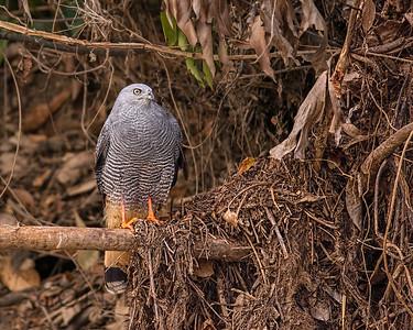 Crane Hawk, Pantanal Brazil