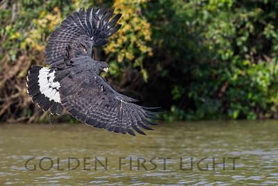 Great Black Hawk, Pantanal Brazil