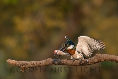 Amazon Kingfisher, Pantanal Brazil