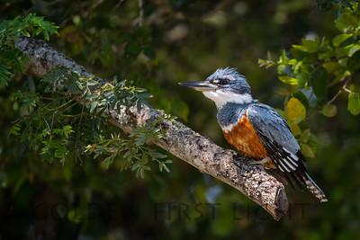 Ringed Kingfisher, Pantanal Brazil