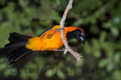 Orange-backed Troupial, Pantanal Brazil