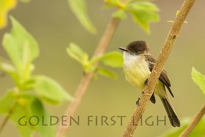 Sad Flycatcher, Jamaica