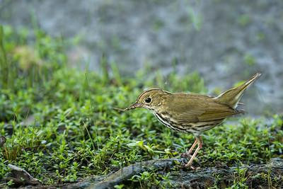 Ovenbird, Jamaica