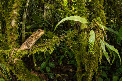 Dwarf Iguana, Ecuador
