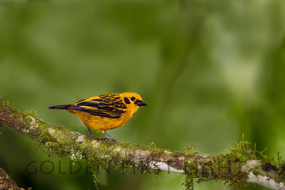 Golden Tanager, Ecuador