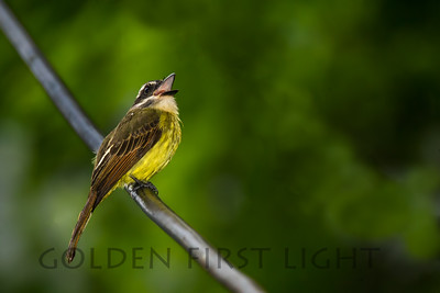 Golden-crowned Flycatcher, Ecuador