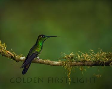 Violet-fronted Brilliant, Ecuador