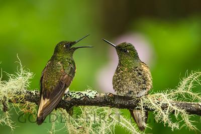 Buff-tailed Coronet, Ecuador