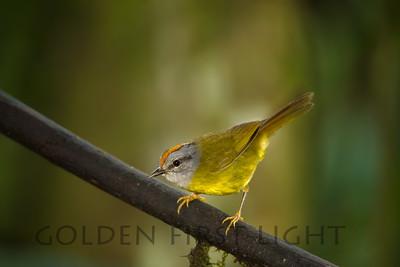 Russet-crowned Warbler, Ecuador