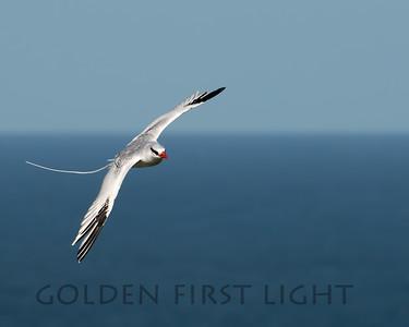 Red-billed Tropicbird, Little Tobago