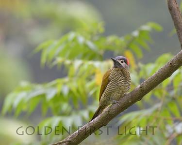Golden-olive Woodpecker, Asa Wright Trinidad
