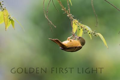 Ochre-bellied Flycatcher, Asa Wright Trinidad