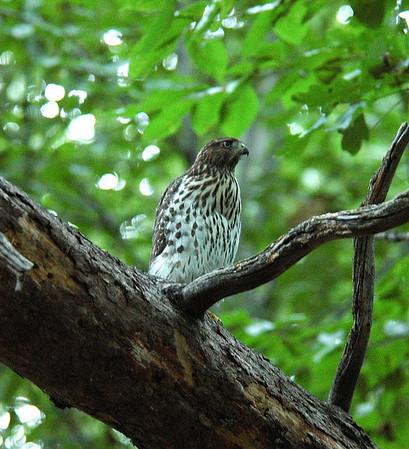 Backyard Hawk 2006