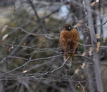 Backyard Red Shoulder Hawk - Feb. 22, 2009