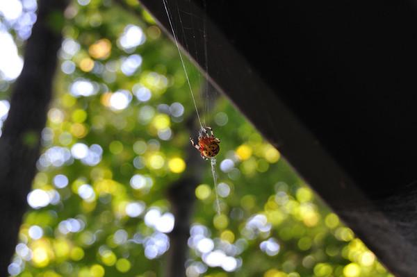 Backyard Spider - Oct. 2009