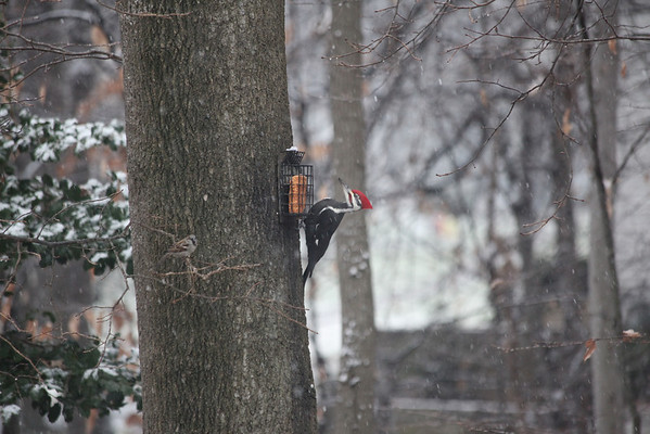 December 2012 Pileated Woodpecker