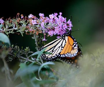 Migrating Backyard Monarch - 2012
