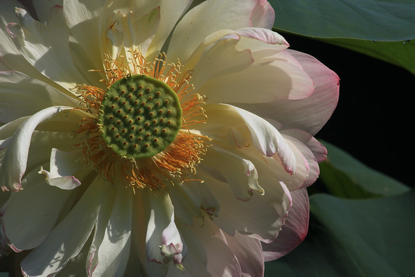 Lotus Water Lilly II