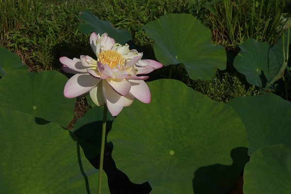 Lotus Water Lily - July 2016