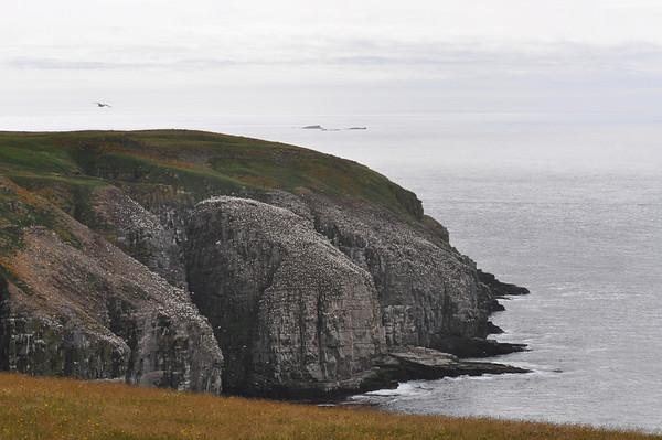 Northern Gannets - Pam