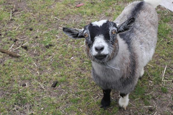Cutest Goats Ever