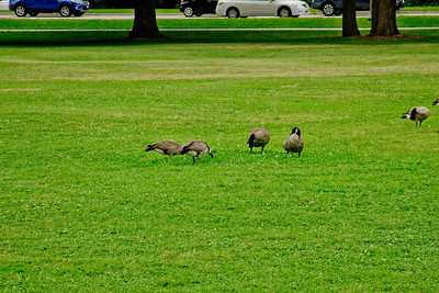 Geese and Grass
