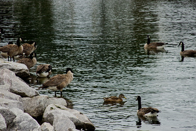 Family of Geese in Milwaukee