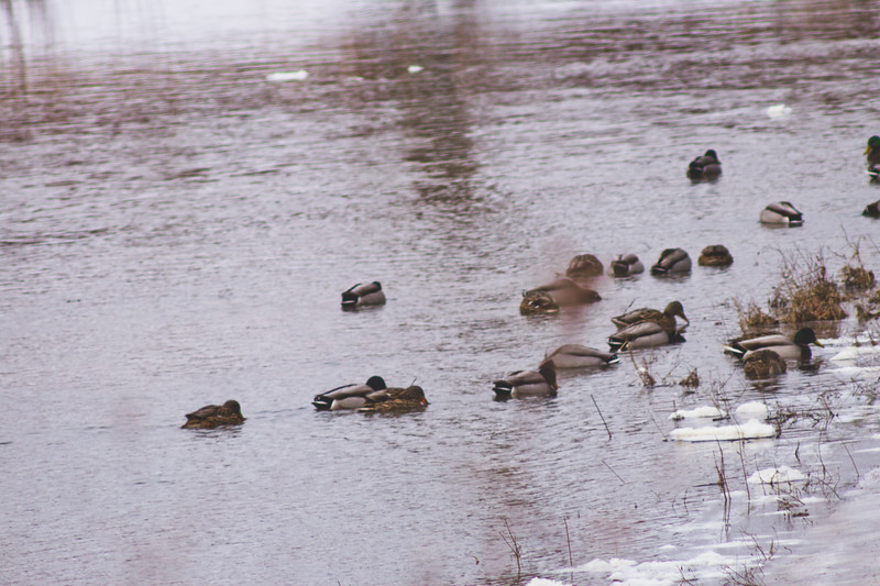 Wildlife in Stepping Stone Falls in Flint Michigan Photograph 34