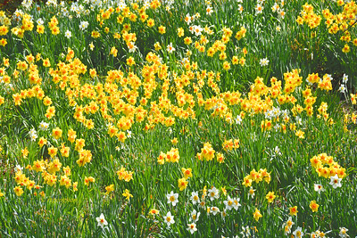 Daffodil Patch