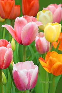 Garden Tulips Jewels