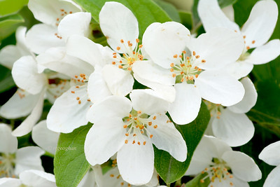 White Crabapple Blossoms