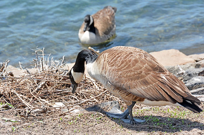 Canada Geese Nesting
