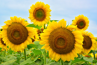 Sunflower Grouping