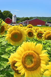 Sunflowers and Farm