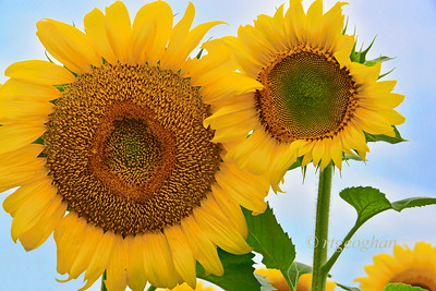 Skybound Sunflowers