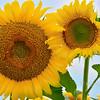 Skybound Sunflowers