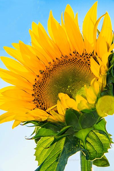 Sunflower Glow